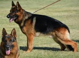 south australian german shepherd breeders german shepherd dog club of america breeder and puppy advertisements