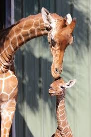 babies first halloween transparent background 237 best baby giraffes images on pinterest baby giraffes