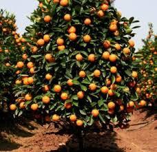 a cheerful bright valencia orange tree oh the possibilities