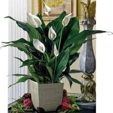 Indoor House Plants Low Light Best House Plants To Improve Indoor Air Quality Bob Vila