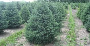happy land tree farms christmas trees to buy or cut