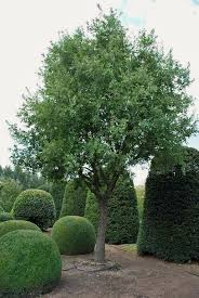 shopper s diary specimen trees and special shrubs from solitair