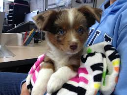 australian shepherd blue heeler i work at a car dealership and this baby australian shepherd