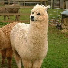 Alpaca Meme - doge meme alpaca canvas prints by memesense redbubble