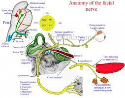 Human Anatomy Diagram Download Anatomy Of The Nerve Anatomy Of The Vagus Nerve Pdf Download