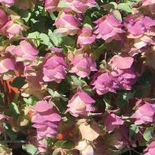 87 best origanum images on herbs herb gardening and
