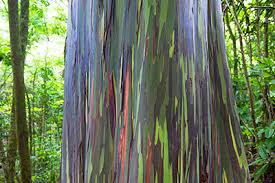 Rainbow Eucalyptus Rainbow Eucalyptus Growth And Benefits Hippocrates Health Institute