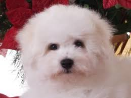 bichon frise breeders in pa bichon frise puppies for sale