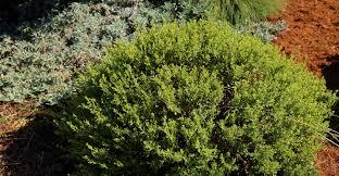 where to buy california native plants hazardia squarrosa too california native garden native gardens