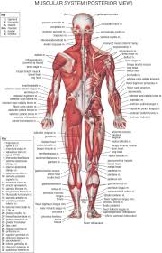 anterior muscle anatomy label muscles worksheet body muscles