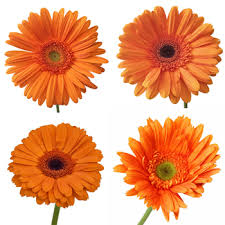 gerbera daisies gerber daisies flower