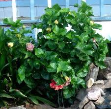 Patio Plants For Sun Hidden Valley Hibiscus Sun U0026 Light Needs Of Hibiscus