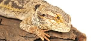14 signs unhealthy bearded dragon bearded dragon care 101