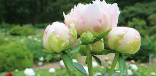 Peony Flower Peony Care Tree Herbaceous Intersectional