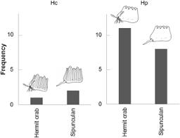 a new species of hermit crab diogenes heteropsammicola crustacea