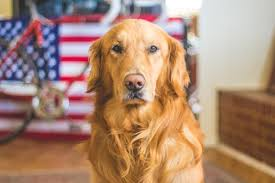 free images bicycle animal american flag golden retriever