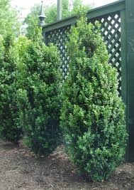 tree or shrub archives page dee runk boxwood 8 10 ft tall x 2 3 ft wide great for tight