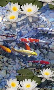 koi free live wallpaper apk free koi 3d live wallpapers android apps apk for android