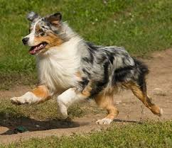 australian shepherd in california follow the piper australian shepherd dogs