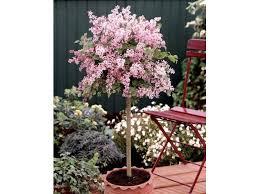 flieder balkon flieder pflanzen kanadischer flieder pflanze syringa prestoniae