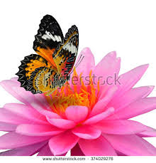 beautiful flying butterfly on pink lotus stock photo royalty free