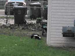 skunk sightings on the rise as critters prepare for winter by