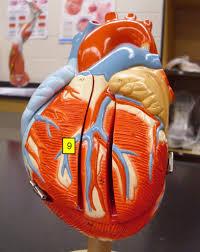 Sheep Heart Anatomy Quiz Heart Model U0026 Sheep Heart Practice Quiz Proprofs Quiz