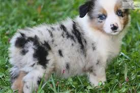 4 week old australian shepherd australian shepherds are the best looking dogs in the world
