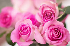 pink and roses pink roses flowers free photo on pixabay