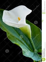 calla flower calla flower stock image image of arum leaf plant 8828819