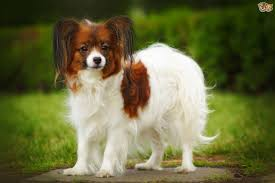 australian shepherd ugly stage papillon dog breed information buying advice photos and facts