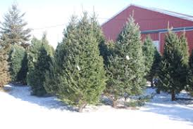 choose u0026 cut fresh pre cut fir spruce pine christmas trees