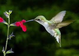 hummingbird flowers black gold hummingbird flowers for hot gardens