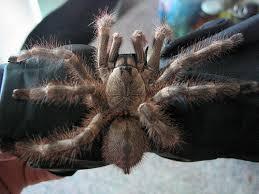 the salem ornamental tarantula poecilotheria formosa flickr