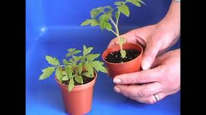 small tomato plants after 5 weeks youtube