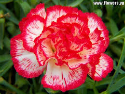 best 25 carnation flower pictures ideas on pinterest carnation