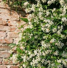 Which Jasmine Plant Is Most Fragrant - what is night blooming jasmine with pictures