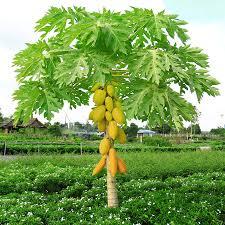 yellow papaya tree for sale fast growing trees