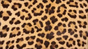 Zebra Area Rug 8x10 Furniture Amazing Animal Skins For Sale Cowhide Rugs Zebra