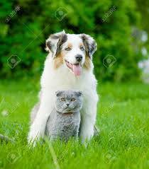 cat with australian shepherd australian shepherd puppy and cat sitting together on the green