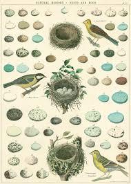 nests birds u0026 eggs poster