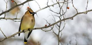 cus winter bird in tree berries