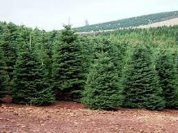 christmas tree prices welcome sunnyview christmas tree farms salem oregon