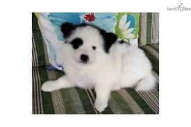american eskimo dog forum pirate american eskimo dog puppy for sale near columbia south