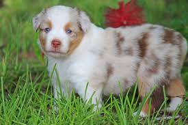 south texas australian shepherd breeders view ad miniature australian shepherd puppy for sale texas