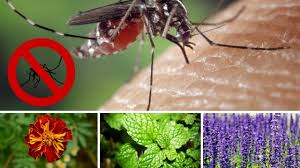 Best Plant For Mosquito Repellent Natural Mosquito Repellent You Should Grow These Plant For
