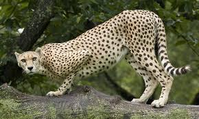 carnivores smithsonian u0027s national zoo