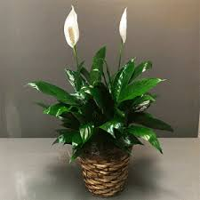 peace lilly 6 peace flowers fancies baltimore md