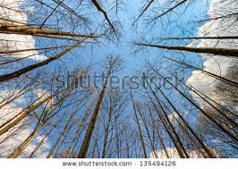 looking up at tree stock images royalty free images vectors