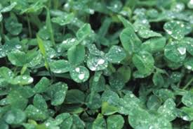 Lawn Care Programs For Do It Yourself Plant A Clover Lawn Http Doityourself Com Obviously Not